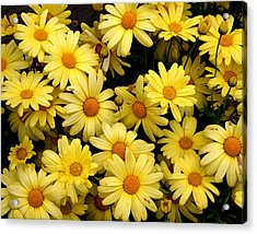 Daisies Acrylic Print by John Bushnell