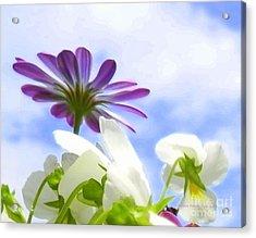 Daisies Looking Up Acrylic Print