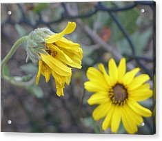 Acrylic Print featuring the photograph Daisies by Nora Boghossian