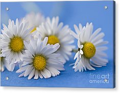 Daisies On Blue Acrylic Print by Jan Bickerton