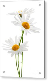 Daisies On White Background Acrylic Print