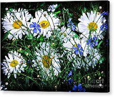 Daisies With Blue Flax And Bee Acrylic Print by Roselynne Broussard