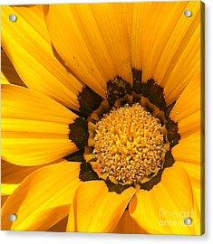 Daisy 1-1 Acrylic Print by Ann Pelaez