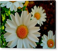Daisy 1 Acrylic Print by Tamara Bettencourt