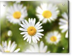 Daisy Among Daises Acrylic Print by Martin Joyful