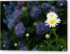 Daisy Among Hydrangeas Acrylic Print by Leigh Ann Hartsfield