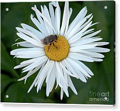 Daisy And Bee Acrylic Print