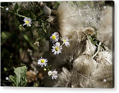 Daisy And Dandelion Acrylic Print by John Holloway