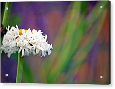 Daisy At Attention Acrylic Print
