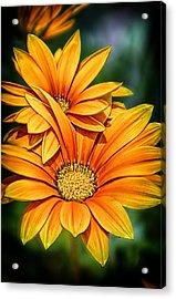 Daisy Blend Acrylic Print