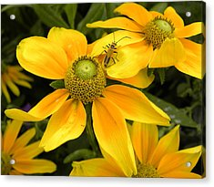 Daisy Bug Acrylic Print by Julie Fields