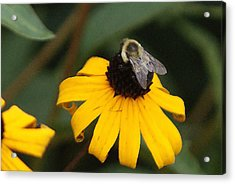 Acrylic Print featuring the photograph Daisy Bumble Bee by B Wayne Mullins