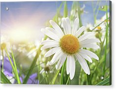 Daisy Close-up In Sunlight Acrylic Print by Pobytov