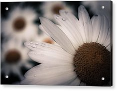 Daisy Don't Doubt Does He Love Me Does He Love Me Not Acrylic Print