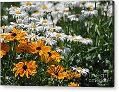 Daisy Fields Acrylic Print