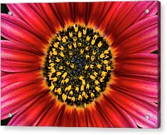 Daisy Flower Abstract Acrylic Print by Nigel Downer