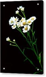 Daisy Flower Bouquet  Acrylic Print