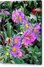 Daisy Flowers  Acrylic Print by Sanjeewa Marasinghe