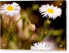 Daisy In A Field Acrylic Print