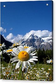 Daisy In Rocky Mountains Acrylic Print by Sophia Elisseeva