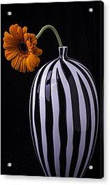 Daisy In Striped Vase Acrylic Print
