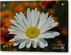 Daisy Acrylic Print by Nur Roy