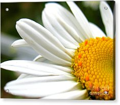 Acrylic Print featuring the photograph Daisy by Patti Whitten