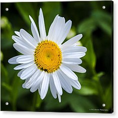 Acrylic Print featuring the photograph Daisy by Phil Abrams