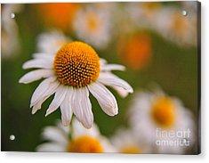 Daisy Power Acrylic Print by Terri Gostola