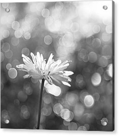 Daisy Rain Acrylic Print by Theresa Tahara