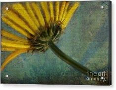 Daisy Reach Acrylic Print by Erika Weber