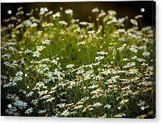 Daisy Sunrise Acrylic Print