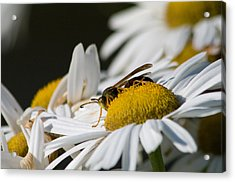 Acrylic Print featuring the photograph Daisy With Friend by Greg Graham