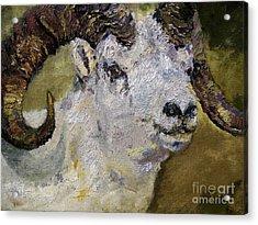 Dall Sheep Ram Wildlife Portrait Acrylic Print