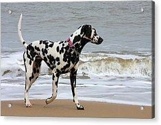 Dalmatian By The Sea Acrylic Print by Gordon Auld
