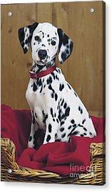 Dalmatian In Basket A108 Acrylic Print by Greg Cuddiford