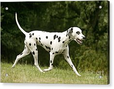 Dalmatian Running Acrylic Print by Jean-Michel Labat