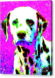 Dalmation Dog 20130125v1 Acrylic Print by Wingsdomain Art and Photography