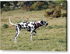 Dalmation Pretending To Be A Pointer Acrylic Print by Gordon Auld
