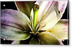 Damaged Lily  Acrylic Print by Danielle  Parent