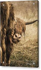 Highland Cow Damn Fleas Acrylic Print