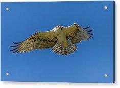 Dance Of Osprey Acrylic Print by Laura Bentley