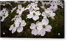 Acrylic Print featuring the photograph Dance Of The Dogwoods by Wayne Meyer