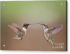 Dance Of The Hummingbirds Acrylic Print