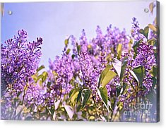 Dance Of The Lilacs Acrylic Print