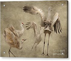 Dance Of The Sandhill Crane Acrylic Print