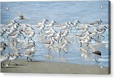 Dance Of The Sandpipers Acrylic Print