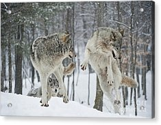 Acrylic Print featuring the photograph Dances With Wolves by Wolves Only