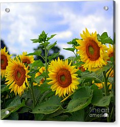 Dancing Sunflowers Acrylic Print by Kathleen Struckle