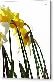 Dancing With The Daffodils Acrylic Print by Pamela Patch